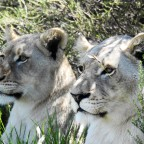 White Lions in South Africa