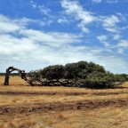 Leaning Trees of Greenough